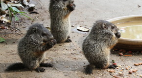Wildlife Photo of the Week: Baby Woodchucks
