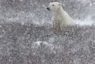 Wildlife Photo of the Week: Patient Polar Bear
