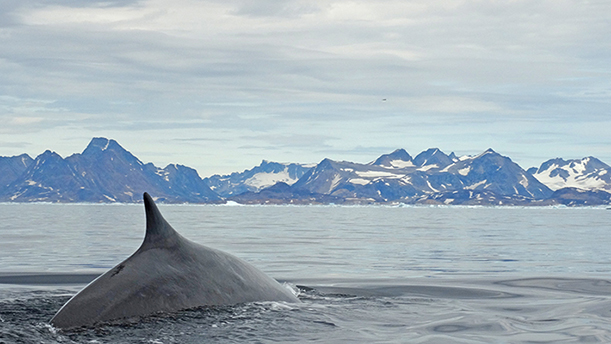 Whale in Greenland