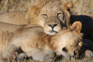 Lions Are Now Protected Under the U.S. Endangered Species Act, but Will It Help Conserve Them in Africa?