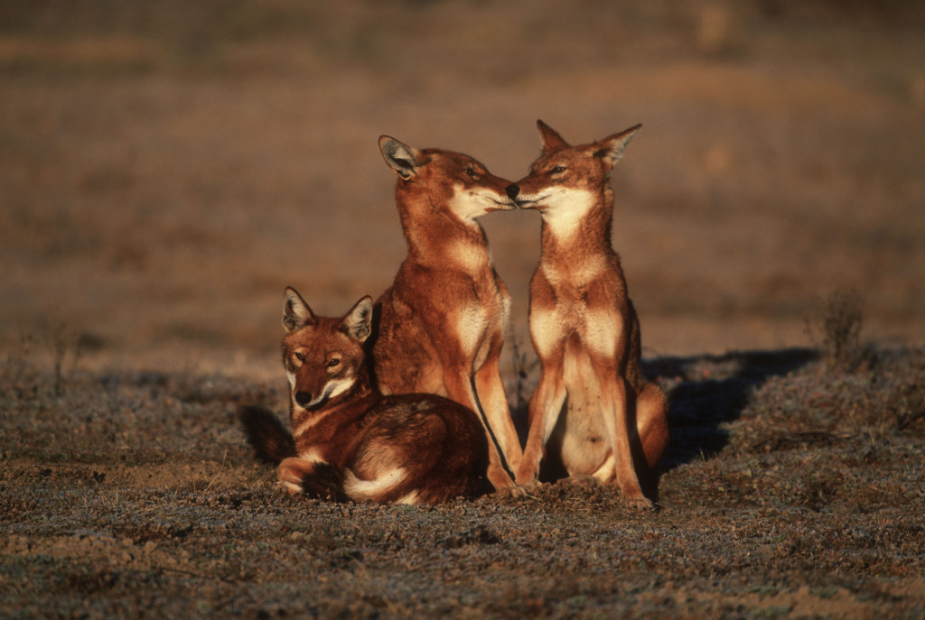 Simian jackal or Ethiopian Wolf, Canis simensis. Portrait. Critically endangered. Adults greet and interact in the early morning. Bale Mountains national Park, Ethiopia © Martin Harvey/WWF-Canon