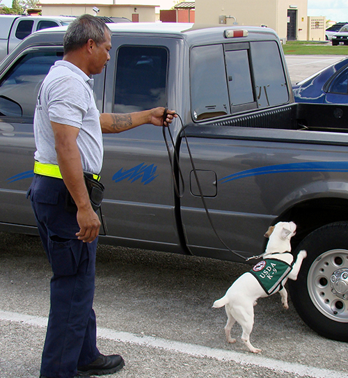 On Guam, the U.S. Department of Agriculture employs canine inspectors to check cargo for invasive brown tree snakes, which devastate native bird populations. ©USDA