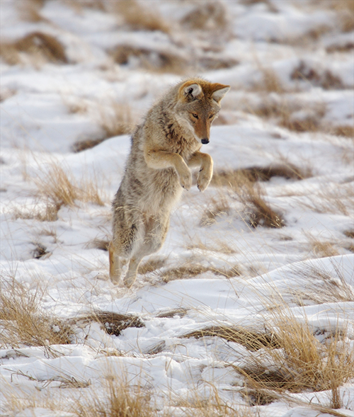 Coyotes often hunt for mice, cutting down on their population numbers. ©Henry H. Holdsworth