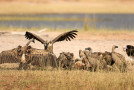 Vanquished Vultures and Criminal Coyotes: Underappreciated Wildlife