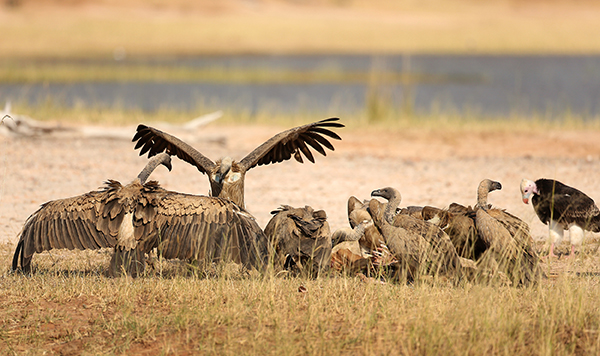 Six species of African vultures—the continent's largest and most recognizable birds of prey—are at risk of extinction. Poisoned baits by poachers and use of vulture body parts in traditional medicines are largely to blame. ©Eric Rock