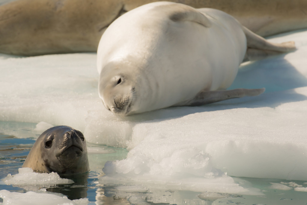 Seals swim and relax on ice in Antarctica