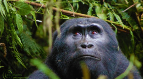 Wildlife Photo of the Week: Pensive Mountain Gorilla