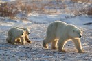 The Importance of Seeing Polar Bears in the Wild