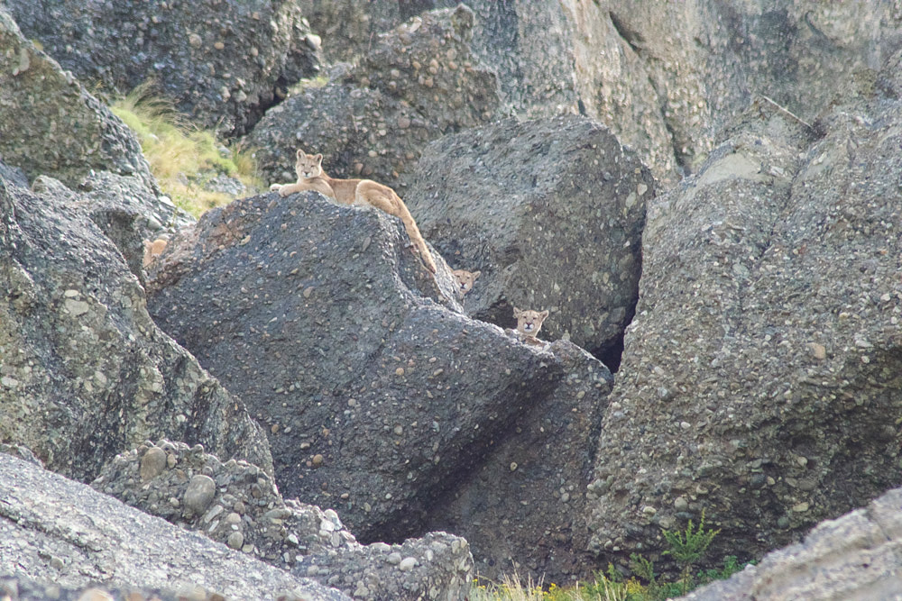 Mother puma and cubs