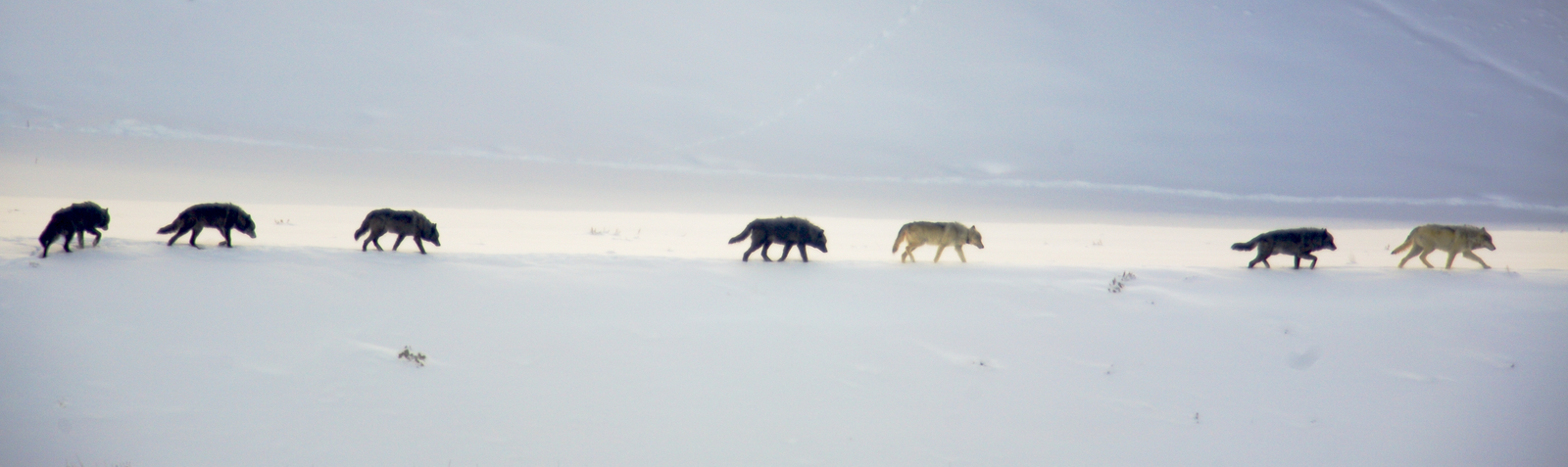 Seven wolves on the move in Wyoming