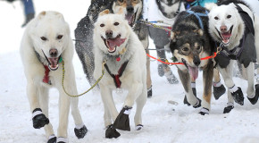Missing Winter: the Iditarod and the American Birkebeiner