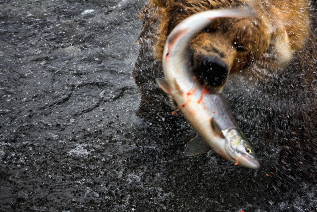 A male adult brown bear shakes his body dry as he struggles to hold onto his catch. © Justin R. Gibson/NHA