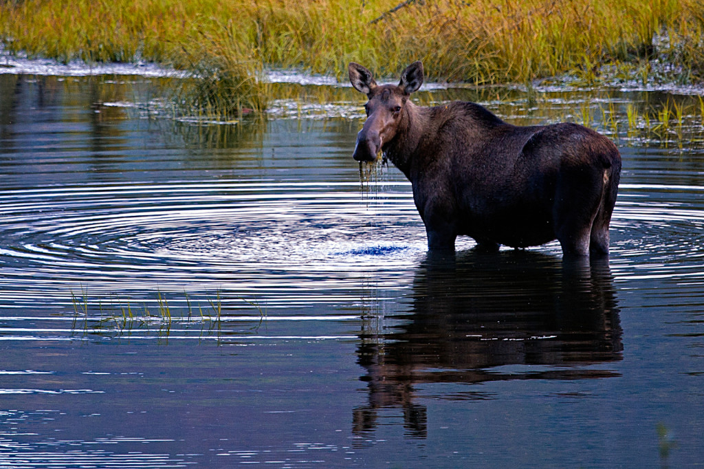 A moose eats willows in Yellowstone