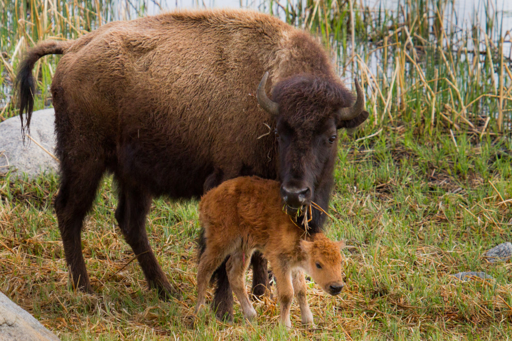 bison and calf eating grass