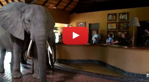 "Video: Watch as Elephants ""Check In"" at a Lodge in Zambia"
