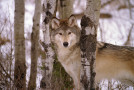 Nat Hab Supports Wolf Conservation Research in Yellowstone