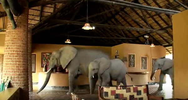 Every spring, a herd of elephants walks through the lobby of a five-star lodge in Zambia. It was built over an ancient elephant path. ©Video by Lion Mountain TV
