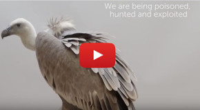 Video: Protecting Nature's Cleanup Crews, the Vultures