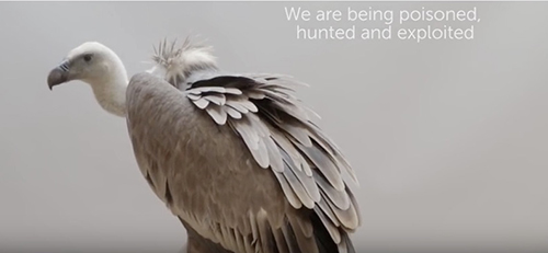 Poisoned baits placed by poachers and the market for vulture body parts in traditional medicines are putting at least six species of African vultures at risk of extinction. ©Video by BirdLife International