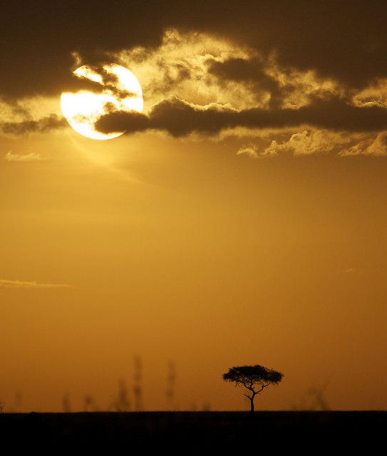 Acacia tree silhouette at sunset