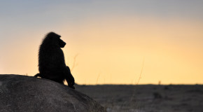 Wildlife Photo of the Week: Baboon Enjoying Sunset