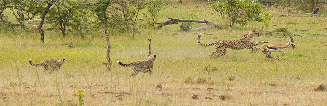 A cheetah family hunts a Thomson's gazelle