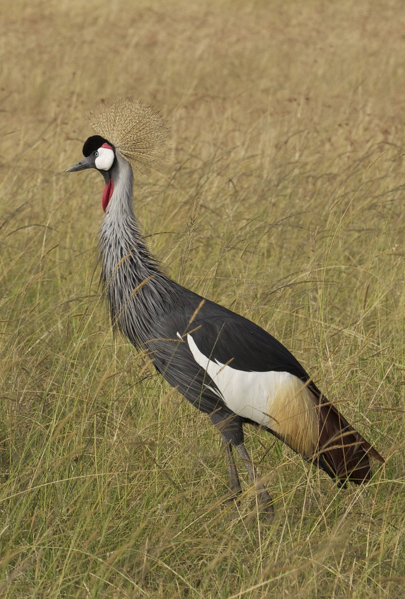 Crowned crane in the grass in Kenya