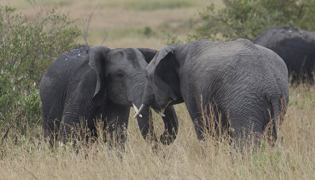 Elephants on a Kenya safari