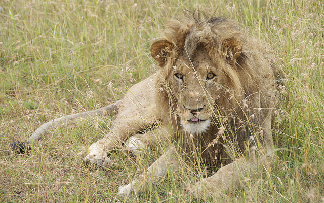 Male lion on the savanna in Kenya