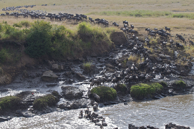 Wildebeest herd on Kenya's Great Migration
