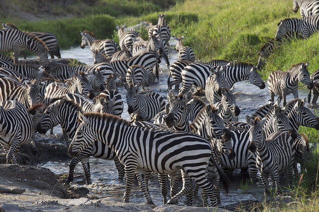 A zebra herd crossing a river in Kenya