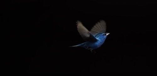"""What we once thought looked like the constant flapping of a bird's wings turns out to be a """"flap, flap… """"©Video: The Messenger """"Behind the Scenes,"""" SongbirdSOS Film"""