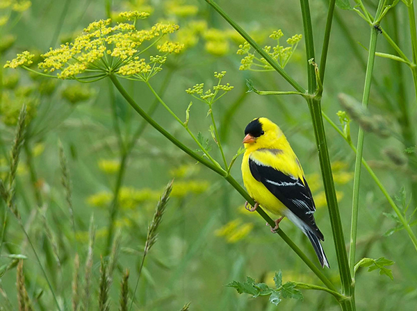 """The American goldfinch is one of the most colorful and conspicuous songbirds. Often called """"wild canaries,"""" goldfinches have a song described as sweet and ecstatic. ©Kelly Colgan Azar, flickr"""