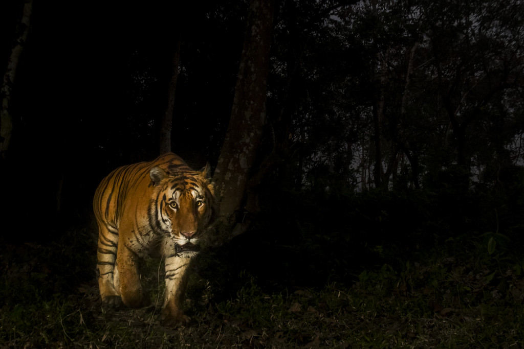 A Bengal tiger, taken by a camera trap in Kaziranga National Park, which is home to the highest density of tigers in protected areas in the world. © Christy Williams/WWF