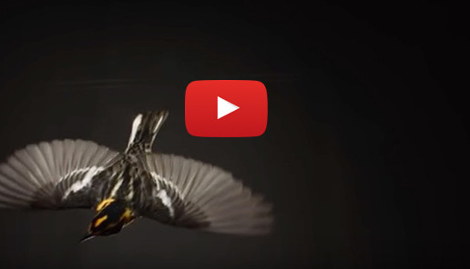 "Video: ""The Messenger"" Movie's Memo about Songbirds"