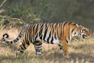 Good News: Increase in Wild Tiger Numbers
