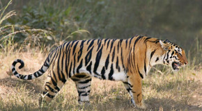 Good News: Increase in Wild Tiger Global Estimate