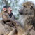 Wildlife Photo of the Week: Baby and Mama Baboon