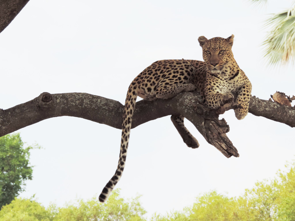 Leopard spotted by travelers in the Chitabe Concession, located within the Okavango Delta. © Deborah Ackerman/WWF-US