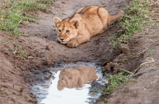 Wildlife Photo of the Week: Stalking Lion