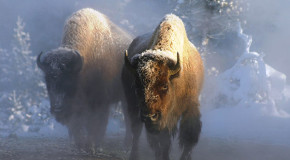 Bison Named Our National Mammal: Bad Omen for the Species?