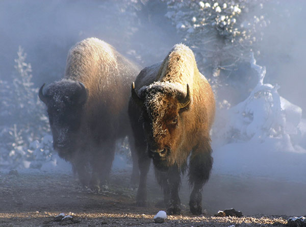 American bison just became our national mammal. ©Ben Forbes