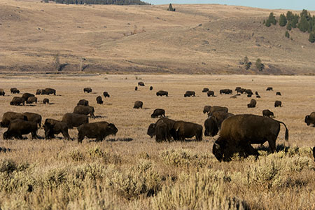 "Early settlers thought the ""buffalo"" of the American West would never be depleted. ©Colin McNulty"