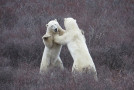 Video: Close Encounters with Churchill's Polar Bears