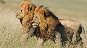 Wildlife Photo of the Week: Brothers of the Serengeti