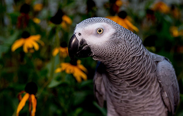Several scientific studies have shown that grey parrots are highly intelligent and capable of abstract, inferential reasoning. ©CBS This Morning