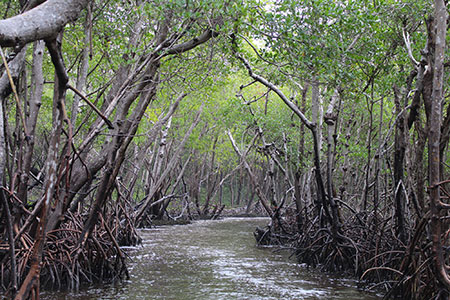 The mangroves in Everglades National Park are efficient carbon sequesters. No one knows they'll be able to survive sea level rise. ©Daniel Hartwig, flickr