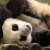 First Twin Giant Pandas of 2016 Born in Chengdu