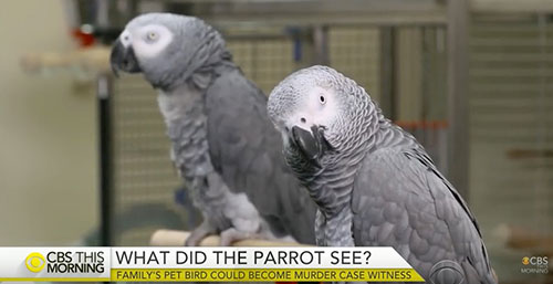 For the first time, could a grey parrot be sworn in as a court witness? ©CBS This Morning