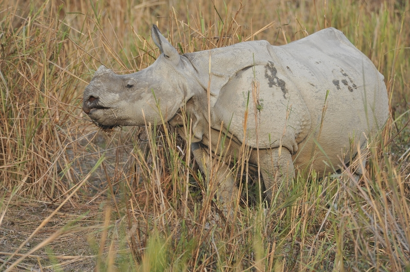 One-horned rhino eating in Kaziranga National Park
